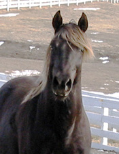 Rocky Mountain Gaited Horses - Standing at Stud - The Great Gatsby