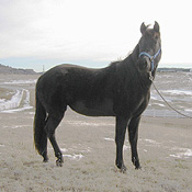 Rocky Mountain Gaited Horses - 2-year-old black filly, great disposition, good confirmation