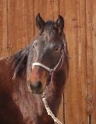 Rocky Mountain Gaited Horses - 2-year-old red chocolate filly, very flashy, great disposition